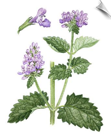 Catnip Essential Oil Water Soluble