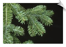 Fir Needle Oil Balsam Water Soluble
