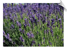 Lavender Oil Water Soluble