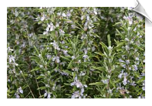 Rosemary Antioxidant Powder, Extract