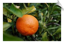 Tangerine Oil Water Soluble