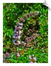 Spearmint Essential Oil, China