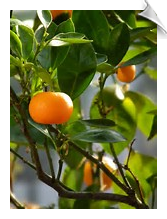Tangerine Essential Oil, 5X, USA