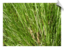 Vetiver Essential Oil, Haiti