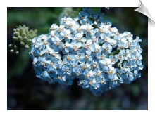 Yarrow Essential Oil, Blue, Bulgaria