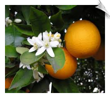 Orange Oil Water Soluble | Alabama Essential Oils