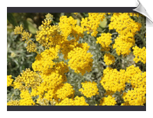 Helichrysum (Immortelle) Absolute Oil | Alabama Essential Oils
