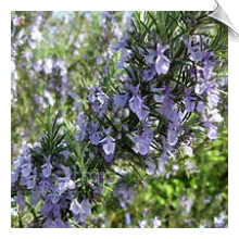 Rosemary Essential Oil, ct. Camphor, Spain