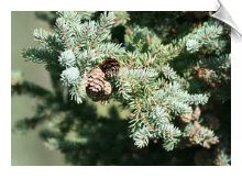 Spruce Essential Oil, Black, Canada