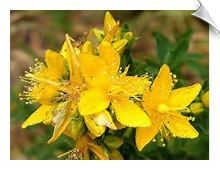 St. John's Wort Essential Oil | Alabama Essential Oils
