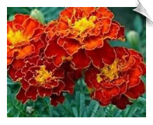 Tagetes Essential Oil | Alabama Essential Oils