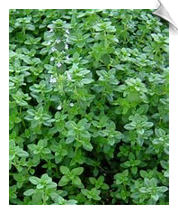 Thyme Essential Oil, ct. geraniol, France