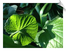 Violet Leaf Absolute | Alabama Essential Oils