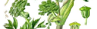 Angelica Seed Essential Oil