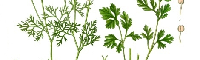 Cilantro Essential Oil, USA