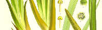 Calamus Essential Oil, India