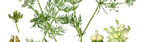 Caraway Seed Essential Oil, Egypt