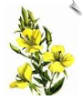 Evening Primrose CO2 Total