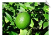 Lime Expressed Water Soluble