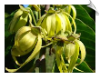 Ylang Ylang Oil Water Soluble