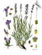 Lavender Essential Oil, Wild, France