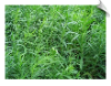 Tarragon Essential Oil, USA