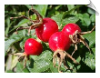 Rosehip CO2 Total | Alabama Essential Oils
