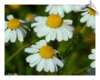 Chamomile German CO2 Total | Alabama Essential Oils