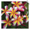 Frangipani Absolute Oil | Alabama Essential Oils