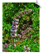 Spearmint Essential Oil 60-70 Carvone | Alabama Essential Oils