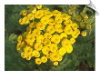 Tansy Essential Oil, Idaho Super, USA