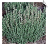 Thyme Essential Oil, ct. borneol | Alabama Essential Oils