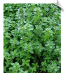 Thyme Essential Oil, ct. geraniol | Alabama Essential Oils