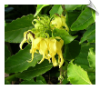 Ylang Ylang 1 Essential Oil Very Floral | Alabama Essential Oils