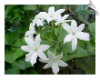 Jasmine Grandiflorum Absolute Oil, India